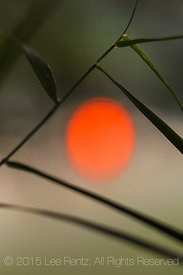 Grass Leaves with Red Setting Sun Colored By Smoke from Forest Fires