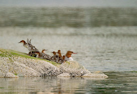 July - Common Merganser (female) with young