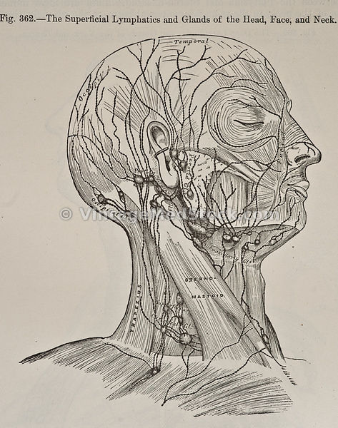 Lymphatic System of the Head, Neck & Face