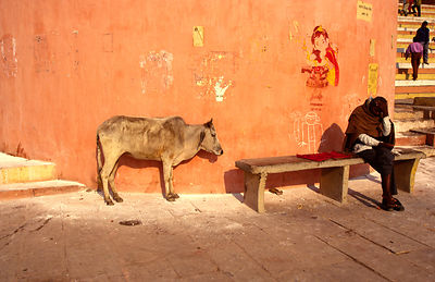 A cow and a man on the ghats