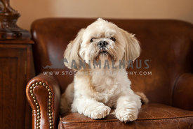 lhasa apso relaxing in leather armchair