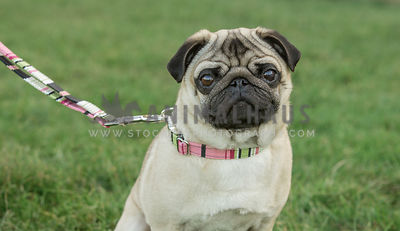 Close up head and shoulder of a fawn and black pug wearing a pastel pink and green matching collar and leash lead against a g...