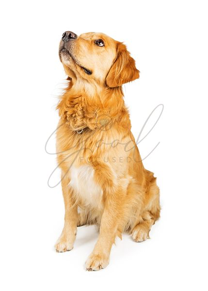 Golden Retriever Dog Sitting on White Looking Up