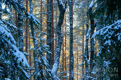 Tree trunks in winter taiga