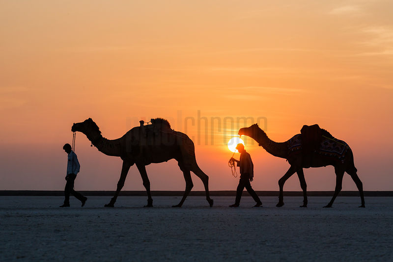 Camels for Hire in the Desert