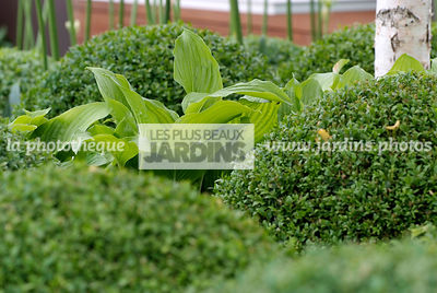 Ball shaped, Bush, Buxus, Contemporary garden, Evergreen, Perennial, Sphere shaped, Topiary, Common Box, Digital