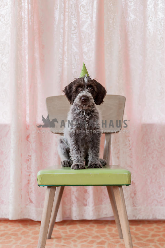 Little scruffy puppy sitting on a chair with a party hat on
