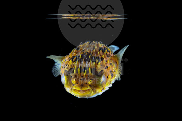 Diodon holocanthus - Porcupine Pufferfish
