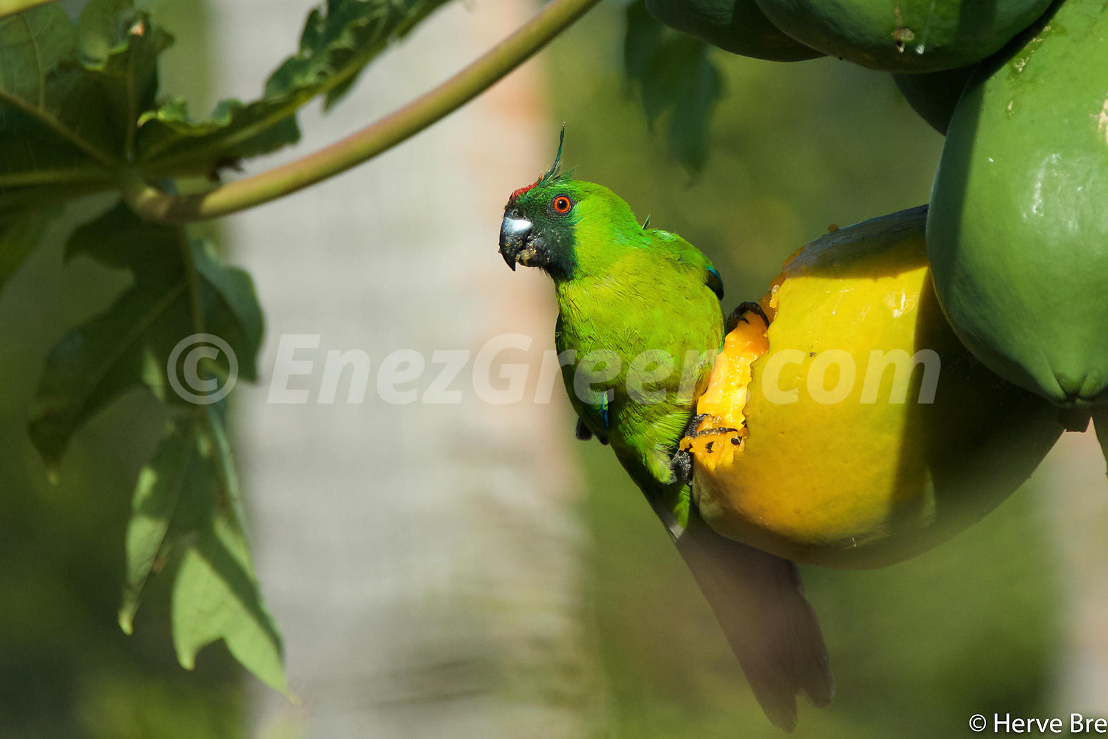 Ouvea parakeet in New-Caledonia