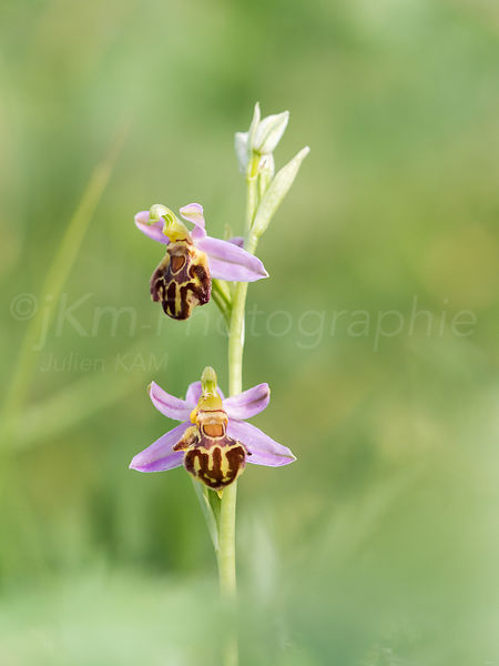 Ophrys apifera - Ophrys abeille
