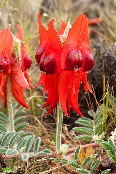 Ruby red centred Sturt Desert Pea.