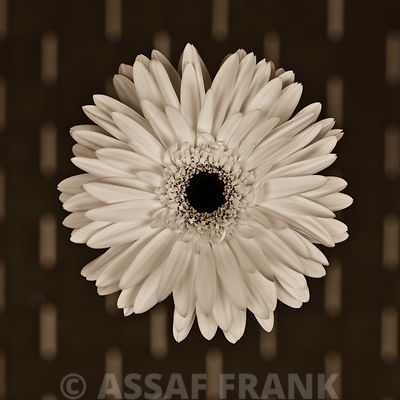 Close-up of white Gerbera daisy on patterned background (Sepia)