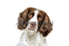 Liver and White English Springer Spaniel bitch in high key studio image