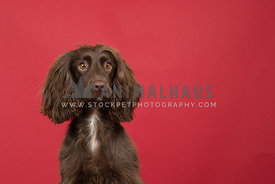 Chocolate Cocker Spaniel headshot portrait on red background