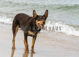 Kelpie standing at edge of ocean on beach wave behind waiting for someone to throw a ball, ears up