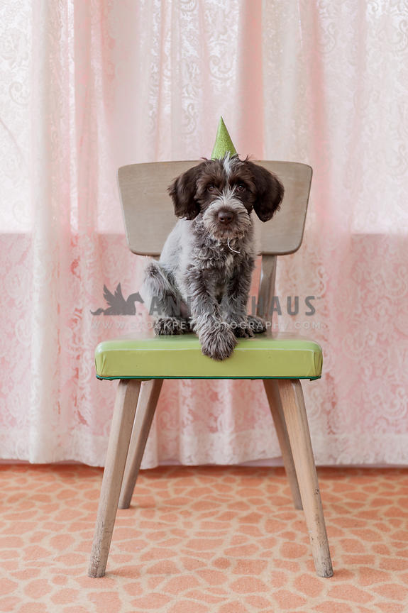 Little scruffy puppy sitting on a chair with a party hat on and paw out