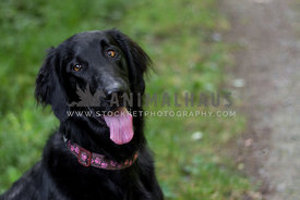 flat coat retriever dog with tongue out