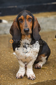 Basset hound on a concrete floor