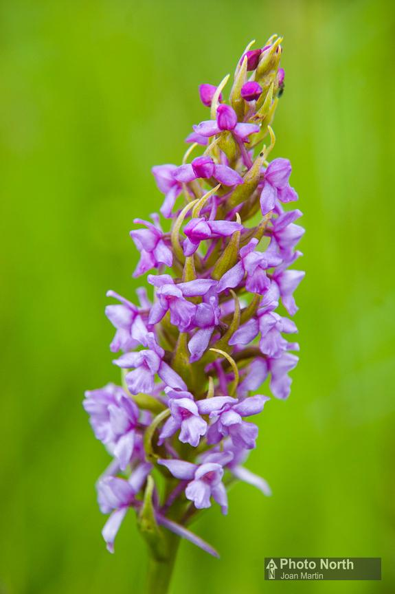 ORCHID 20A - Fragrant orchid