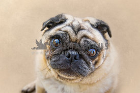 Pug Close Up face