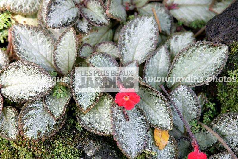 la photothèque | LES PLUS BEAUX JARDINS | Episcia cupreata Hanst ...