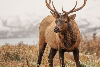 Elk in the Snowfall