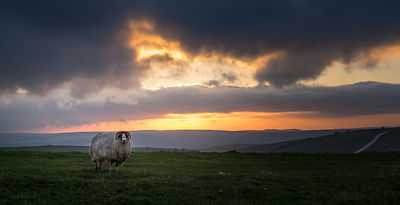 Sheep on Longstone Moor