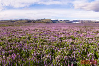 Aerial drone view of lupine fields in summer, Iceland