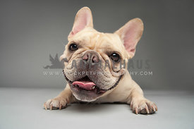 smiling fawn french bulldog wide angle looking at the camera