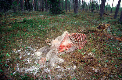 Reindeer Killed by Wolves