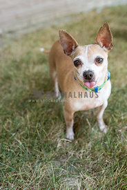 Chihuahua wearing collar with tongue sticking out  standing in the grass