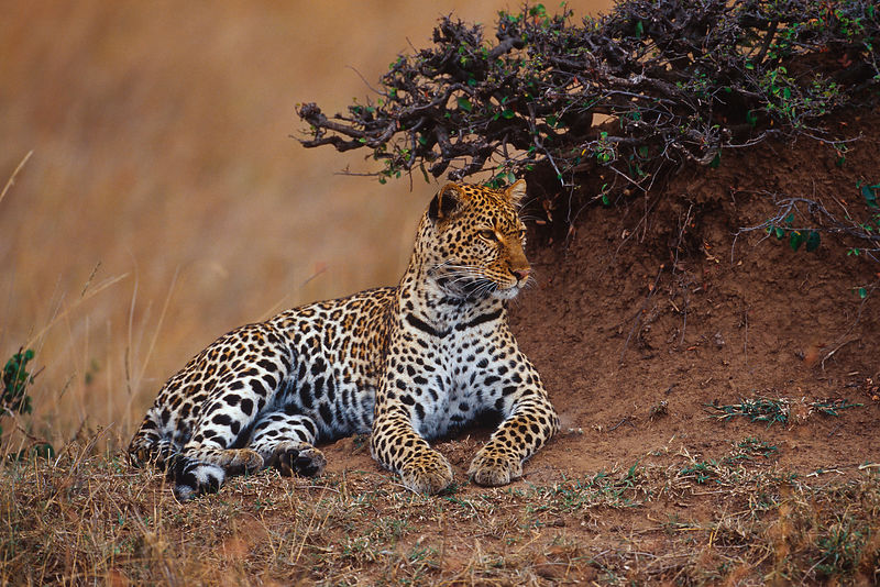 Portrait of a Leopard next to a Termite Mound