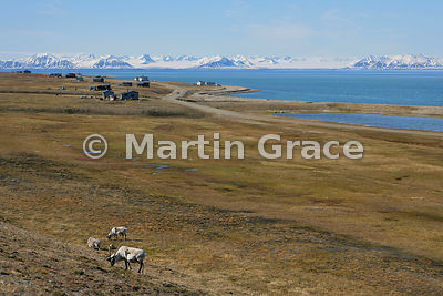 View from Svalbard airport, Longyear, with foreground Svalbard Reindeer (Rangifer tarandus platyrhynchus) and looking across ...