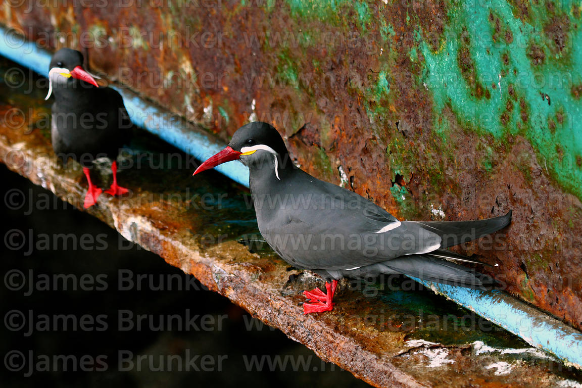 Adult Royal or Inca terns ( Lorosterna inca )