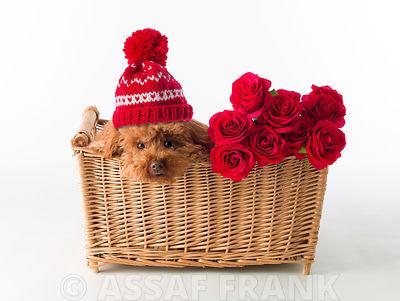 Poodle in basket with bunch of Roses