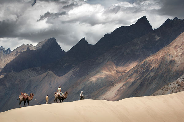 Camels in Nubra Valley, Ladakh Himalaya India.