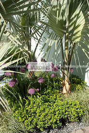 Massif, Style exotique, Sabal minor (sabal nain), Dwarf palmetto, Palmier rustique, Allium 'Purple Sensation' (ail d'ornement...