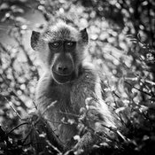8214-Baby_baboon_in_the_leaves_Laurent_Baheux