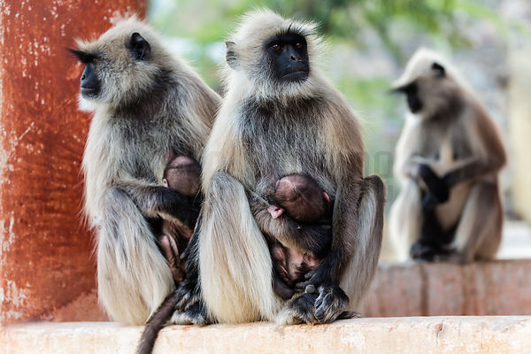 Langur Monkeys with Young