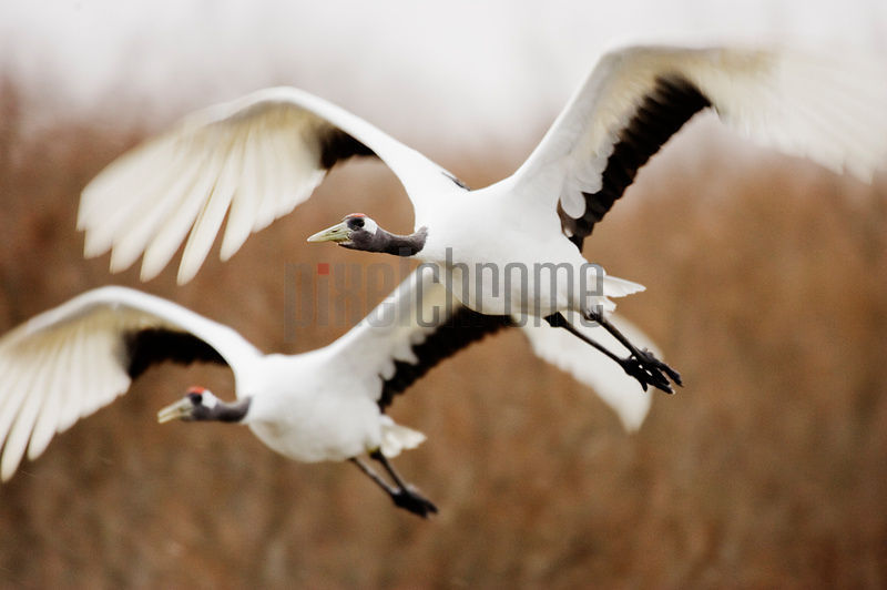 Red Crowned Crane in Flight, Tsurui, Hokkaido, Japan