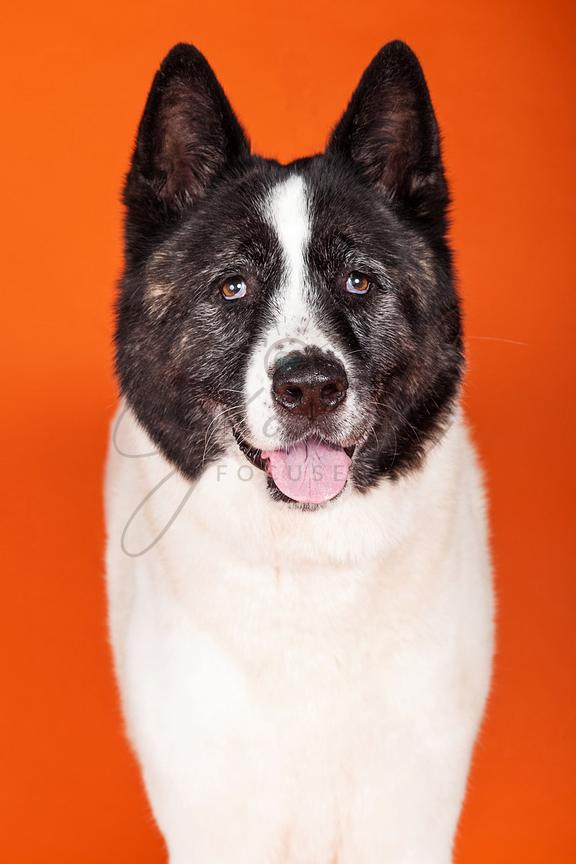 Black Mask Akita Standing Over Orange Background