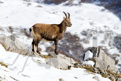 Female Alpine Ibex