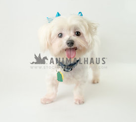 rescue maltipoo with turquoise bows