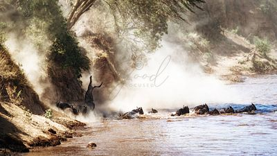 Dramatic Wildebeest Migration River Crossing
