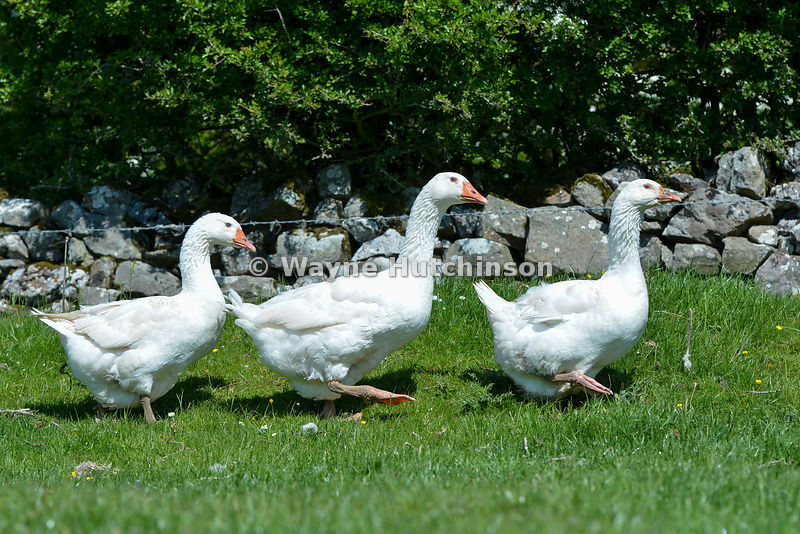 Free range geese in pasture on farm, Cumbria, UK