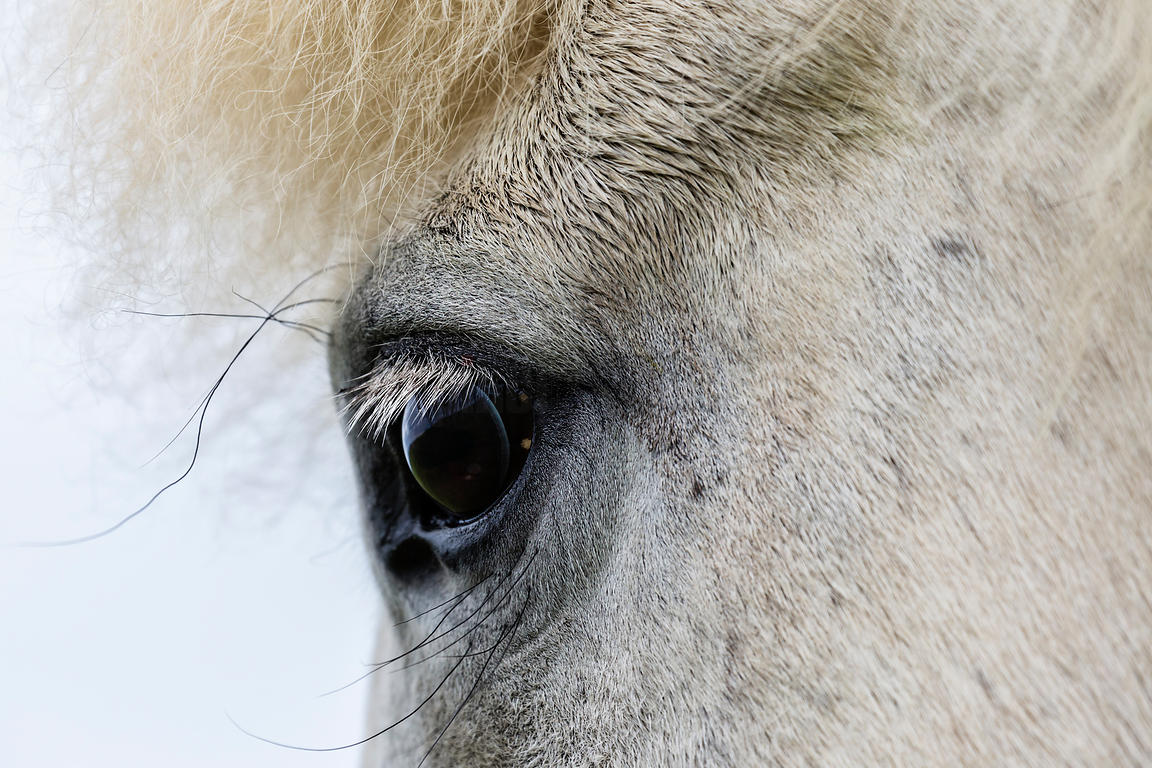 Closeup Portrait of Icelandic Horse