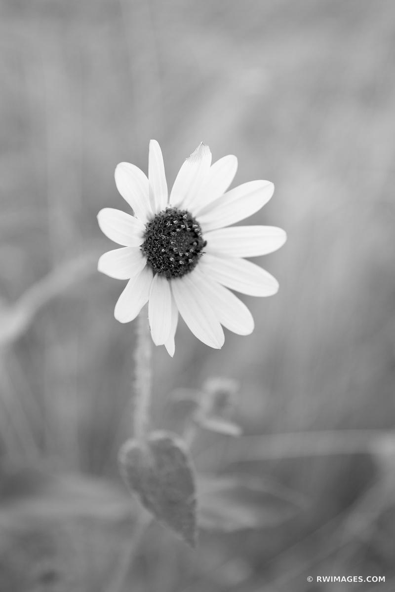 WILD SUNFLOWER PALOUSE FALLS STATE PARK PALOUSE WASHINGTON BLACK AND WHITE VERTICAL