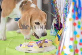 close up of beagle taking a bite of birthday cake