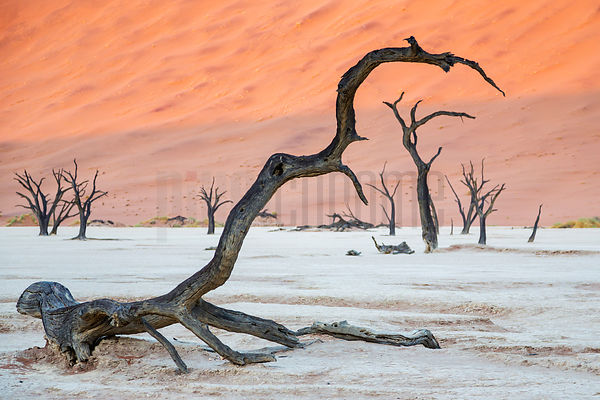 A Fallen Camelthorn Frames other Trees at Dead Vlea at Sunrise