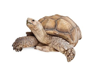 Sulcata Tortoise Looking Up on White
